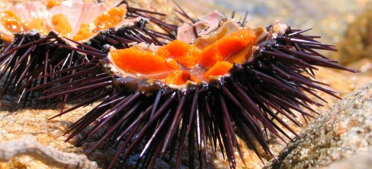Fiesta de promoción y degustación del erizo de mar en Ares